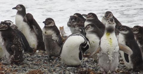 21 Penguins at Otway Sound near  Punta Arenas