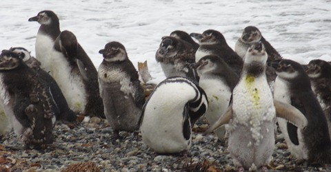 21 Penguins at Otway Sound near  Punta Arenas