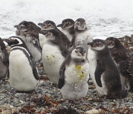 22 Penguins at Otway Sound near  Punta Arenas