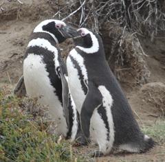 26 Penguins at Otway Sound near  Punta Arenas