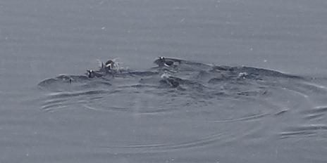 30 Penguins porpoising