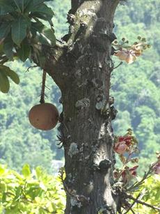 31 Cannonball tree