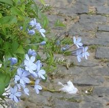 36 Blue flowers