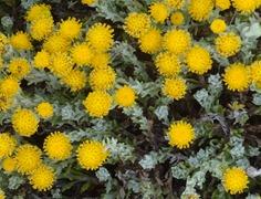 36 Yellow wildflowers at Otway Sound