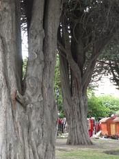 45 wide-trunk trees in Plaza de Armas in Punta Arenas