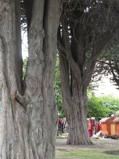 45 wide-trunk trees in Plaza de Armas in Punta Arenas
