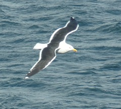 78 kelp gull