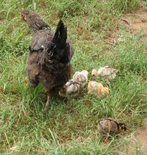 01 Chicken & chicks