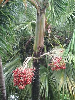 08 Christmas palm