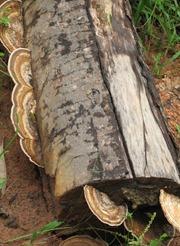 14 Log with fungus