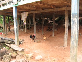 18 Chickens under house