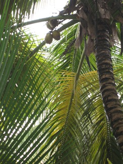 18 Coconut palm