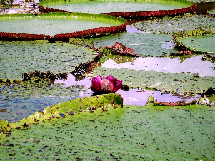 25 Lake January, giant water lillies