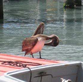 36 Pelican on boat