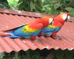 41 Red parrot
