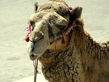 100a.  Agadir old Casbah (camels), Morocco