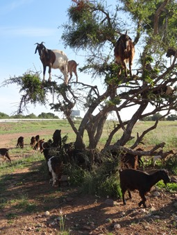 7.  Agadir, Morocco (goats in tree)