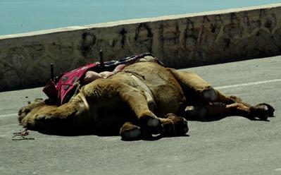 98a.  Agadir old Casbah (sleeping camel), Morocco