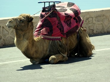 99a.  Agadir old Casbah (camels), Morocco