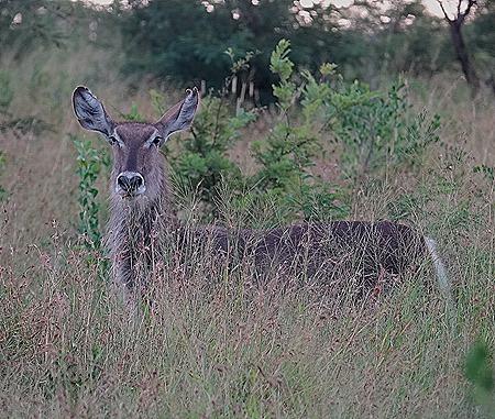 519. Kruger Nat Park, South Africa