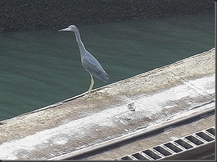 Blue Heron next to canal