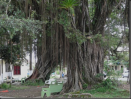 Many rooted trees in park, Bocas Del Toro