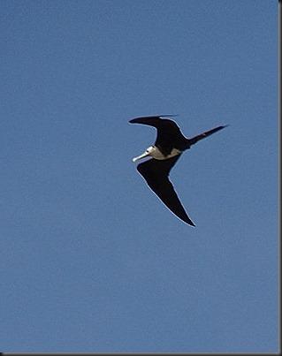 Swallow like bird at Miraflores locks (2)